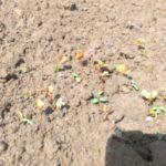 grano saraceno e trifoglio