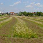 prima fase: fioritura del grano saraceno