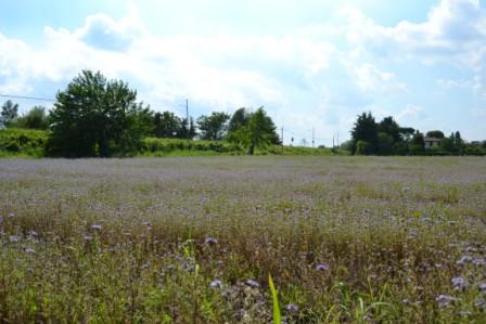 Fase due: facelia in fiore, grano saraceno sta per finire